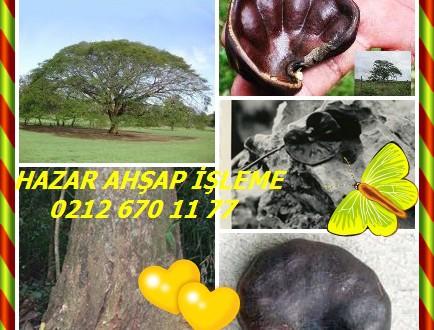 Guanacaste, parota , Enterolobium cyclocarpum,Kulak Ağacı
