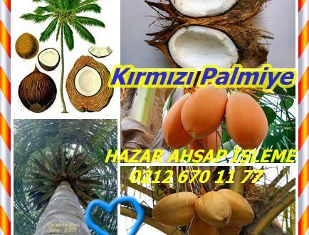 Kırmızı Palmiye, Coconut Palm,Red Palm,Cocos nucifera,Hindistancevizi