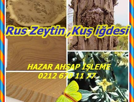 Russian Olive,Rus Zeytin ,Kuş iğdesi,Elaeagnus angustifolia