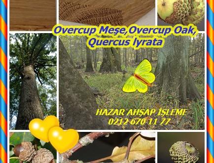 Overcup Meşe,Overcup Oak,Quercus lyrata
