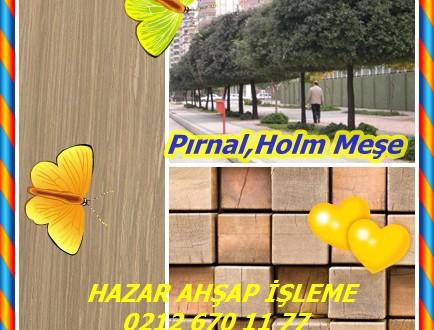 Pırnal,Holm Meşe, Holly Meşe,Quercus ilex