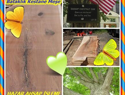 Swamp Chestnut Oak,Bataklık Kestane Meşe,Quercus michauxii