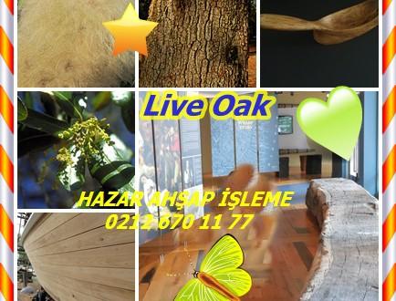 Live Oak, Southern Live Oak,Güney Live Oak,Quercus vırgınıana