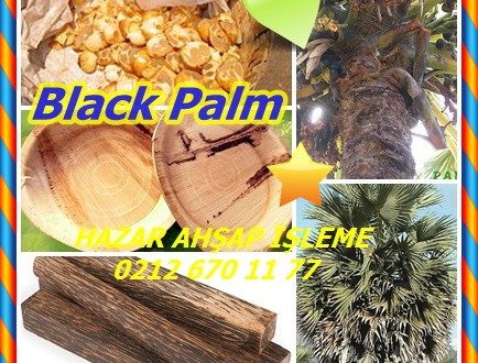 Black Palm,Palmyra Palm,Borassus flabellifer, Asian palmyra palm, toddy palm,sugar palm