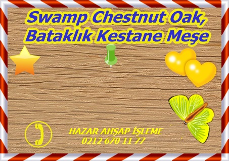 swamp-chestnut-oak