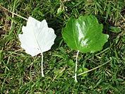 177px-Populus_alba_leaf