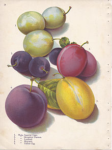 220px-Page_14_plum_-_Imperial_Gage,_Shropshire_Damson,_Lombard,_Maynard,_Yellow_Egg