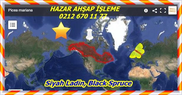 AtyutSiyah Ladin, Black Spruce ,(Picea mariana)dsız