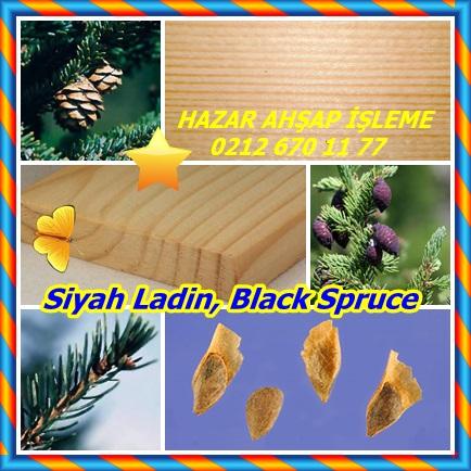 Siyah Ladin, Black Spruce ,(Picea mariana)