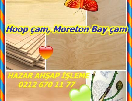 Hoop çam, Moreton Bay çam, sömürge çam, arakaria, Dorrigo Çam (Araucaria cunninghami),kasnak çam,Colonial Çam, Dorrigo Çam,