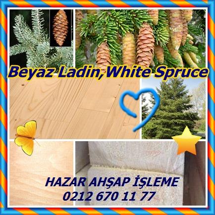 catsBeyaz Ladin,White Spruce12