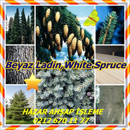 catsBeyaz Ladin,White Spruce323
