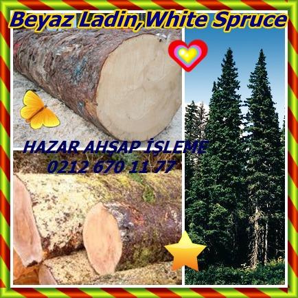 catsBeyaz Ladin,White Spruce45