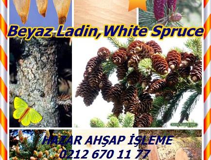 Beyaz Ladin,White Spruce,(Picea glauca),kokarca ladin, kedi ladin, tek ladin, batı beyaz ladin ,Porsild ladin, Black Hills ladini Dakota, EPINETTE blanche