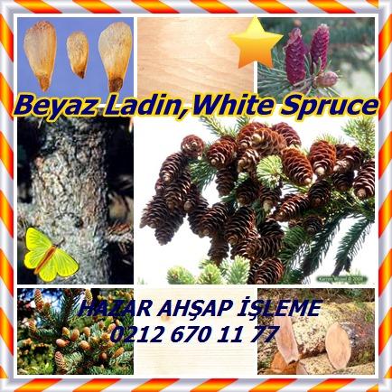 catsBeyaz Ladin,White Spruce65
