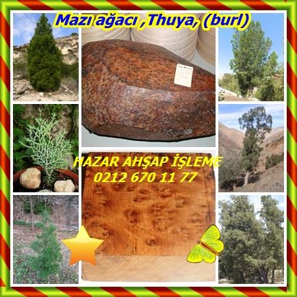 catsMazı ağacı ,Thuya, (burl)979