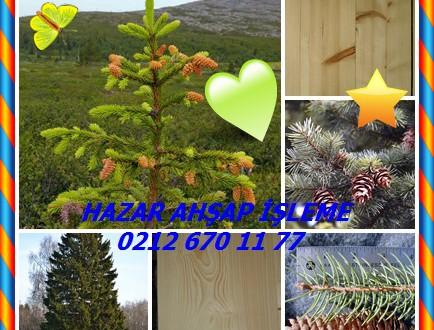 Norveç Ladin, Norway Spruce,(Picea abies),Alman Ladin, Gemeine fichte (Almanca), jel europeiskaya (Rusça)  Bilimsel Adı: Ladin abies,(Picea abies)
