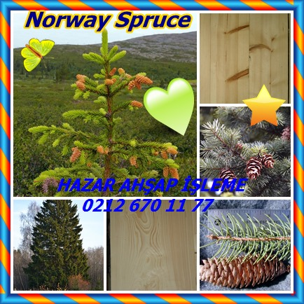catsNorway Spruce43