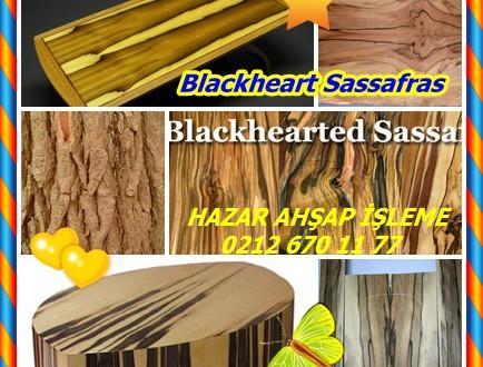 Blackheart Sassafras, (Atherosperma moschatum),Myrtle beech,Tazmanya Sassafras, Siyah Sassafras, Güney Sassafras