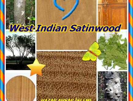 Batı Hint SATINWOOD,West Indian Satinwood, (Zanthoxylum flavum),Sarı-kafa, Yellowheart, Sarı Sanders,Bois Noyer,Espinillo