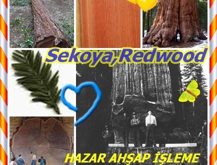 Sekoya,Redwood, Sequoia, Sahil Redwood, California Redwood ,(Sequoia sempervirens),kıyı sekoya, palo colorado.bei mei hong shan,Séquoia toujours vert ,sekoya semperverde ,Amerikansk sekvoja