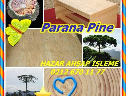 Parana Pine, (Araucaria angustifolia),Parana çam veya şamdan ağacı, Pinheiro-do-Parana, pinheiro, Araucaria, pinho, pinho Brasileiro