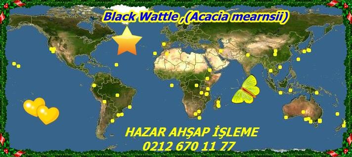 20mBlack Wattle ,(Acacia mearnsii)