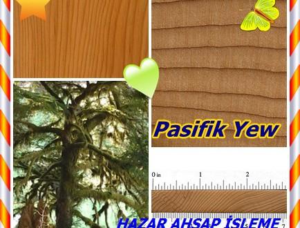 Pasifik Yew ,(Taxus brevifolia),American yew, Oregon yew, bowplant, mountain mahogany,Porsuk brevifolia