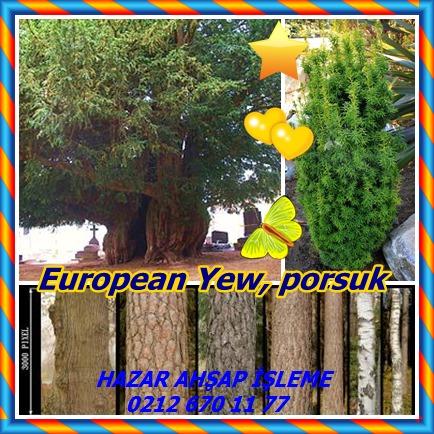 catsEuropean Yew656