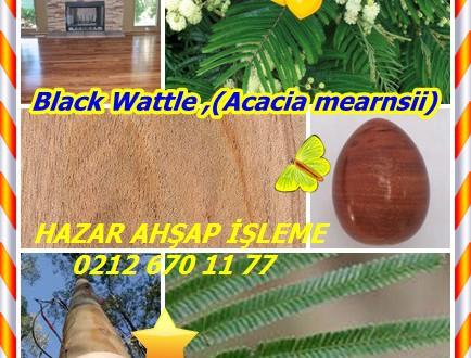 Black Wattle ,(Acacia mearnsii),acácia-negra (Portuguese), Australian acacia, Australische akazie (German), black wattle (English), swartwattel (Afrikaans), uwatela (Zulu)