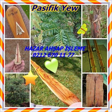 catsPasifik Yew 54