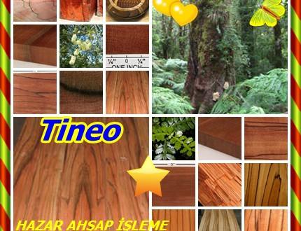 Tineo ,(Weinmannia trichosperma),Saisai, Tarco, Teneo, Tenio, Teniu, Tinel, Tineo, Tineo Tinel