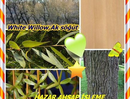 Beyaz Söğüt ,White Willow,Ak söğüt,(Salix nigra),Altın söğüt,Köy söğüdü, Sarı söğüt (Erzincan), Germajo (Ağrı)