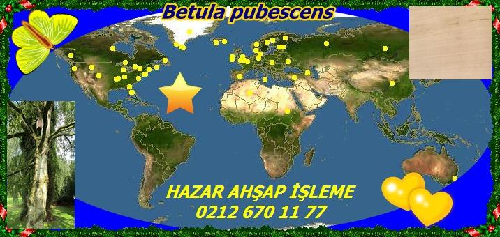 20mBetula pubescens