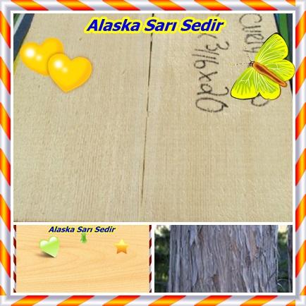 catsAlaska Sarı Sedir565464