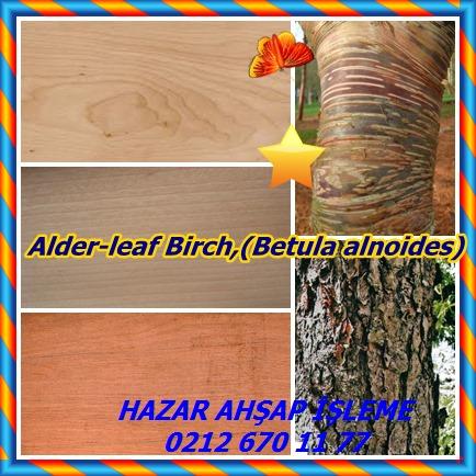 catsAlder-leaf Birch,(Betula alnoides)36