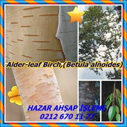catsAlder-leaf Birch,(Betula alnoides656