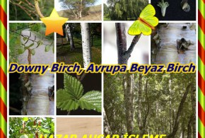 Downy Birch, Avrupa Beyaz Birch,(Betula pubescens),ortak beyaz huş,Hieskoivu, Bouleau blanc, Bouleau ergin, Bouleau tüylü, Moor-Birke, Birki, mesteacăn pufos