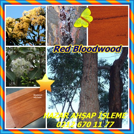 catsRed Bloodwood