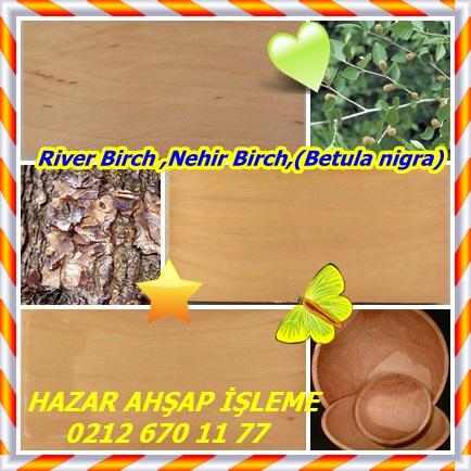 catsRiver Birch ,Nehir Birch,(Betula nigra)23