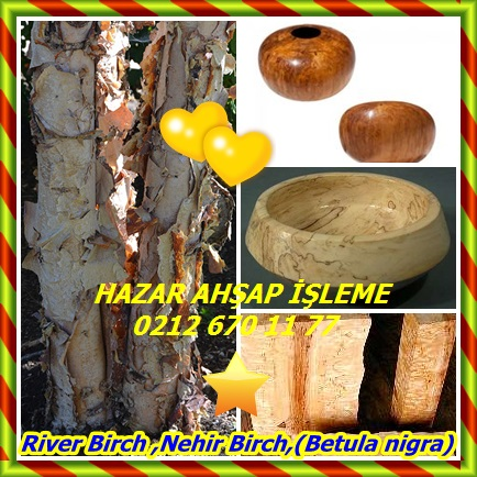 catsRiver Birch ,Nehir Birch,(Betula nigra)333