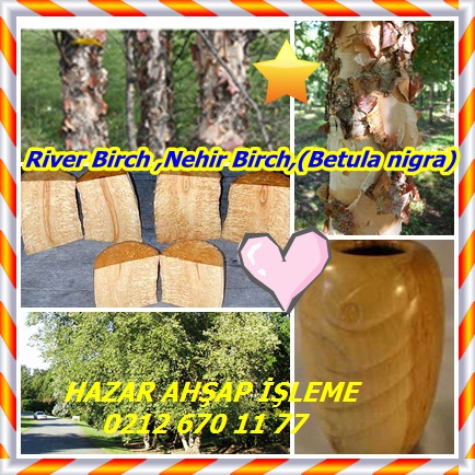 catsRiver Birch ,Nehir Birch,(Betula nigra)767