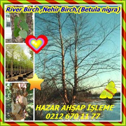 catsRiver Birch ,Nehir Birch,(Betula nigra)77