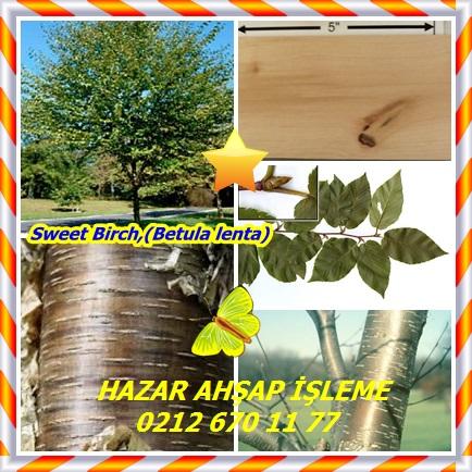 catsSweet Birch,(Betula lenta)332