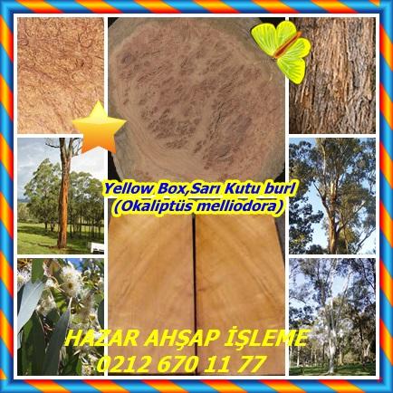 catsYellow Box,Sarı Kutu burl (Okaliptüs melliodora)3432