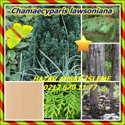 catsChamaecyparis lawsoniana22