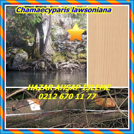 catsChamaecyparis lawsoniana2322
