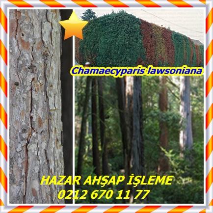 catsChamaecyparis lawsoniana32212
