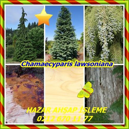 catsChamaecyparis lawsoniana4532232